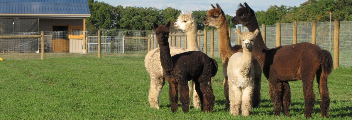 Nite Star Alpacas